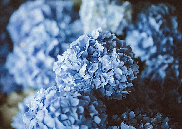 Hortensie-Koestler-Blume-Gartencenter.jp