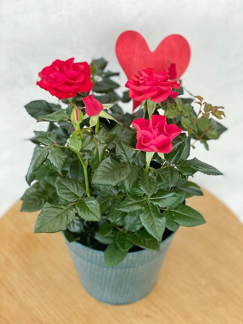 Rose im Topf
