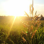 sunrise in a wheat field from wix.jpg