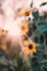 Sunflower rays.jpg