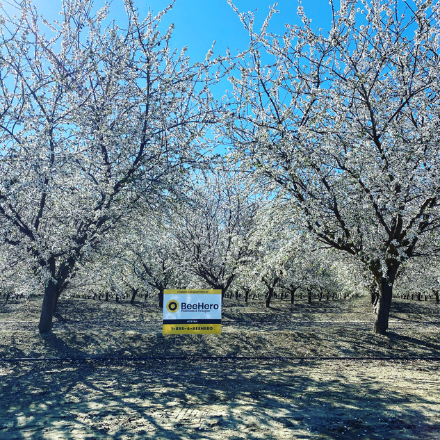 Almond field during pollination