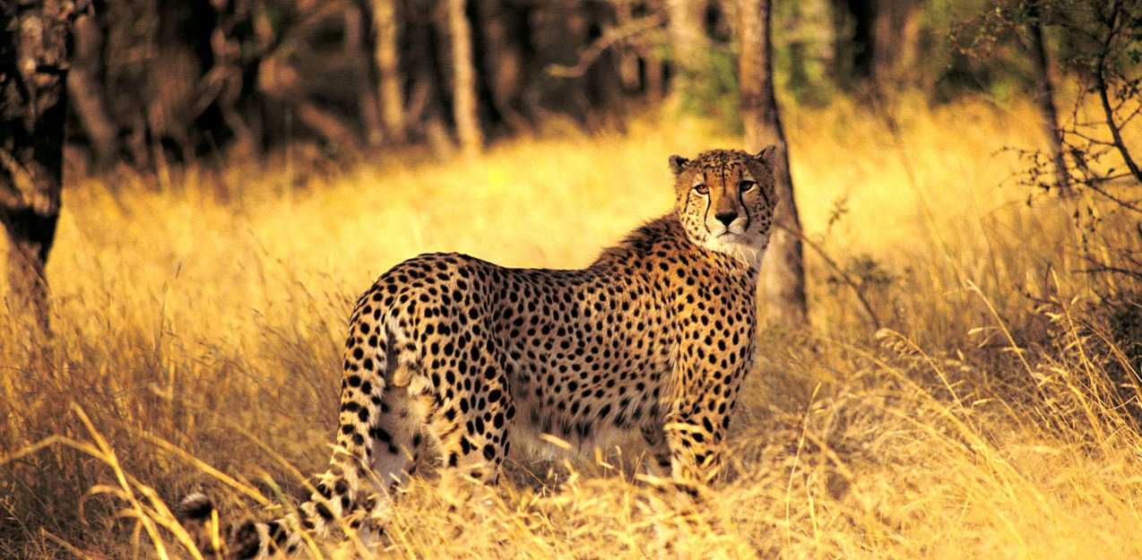 Cheetah_edited.jpg