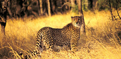Cheetah_edited.jpg