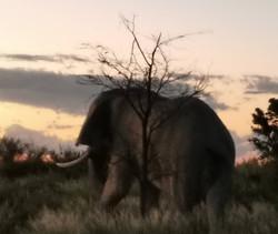 Elephant_Dawn.jpeg