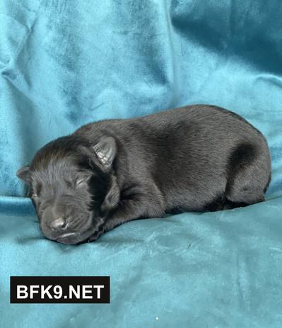 Brave and Faithful K9 Tiana (Solid Black, Female)