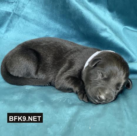 Brave and Faithful K9 Odette (Solid Black, Female)