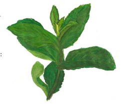 Pesto menthe