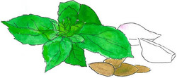 Pesto basilic