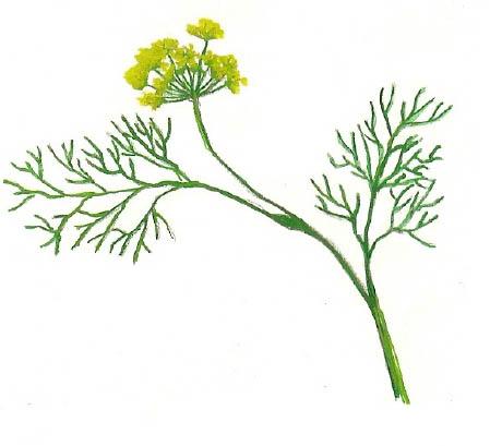 Pesto aneth