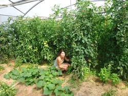 tomates 2013