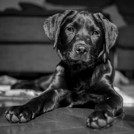 Lycos-Dog