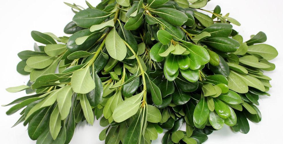 Pittosporum (Green)