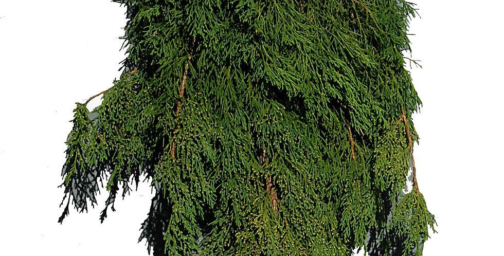 Gold Tip Cedar