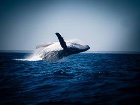 Baleine Anakao 2014
