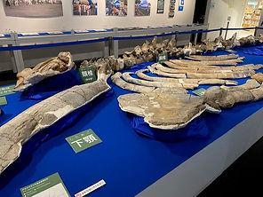 クジラの化石(レプリカ)