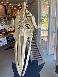 クジラの化石