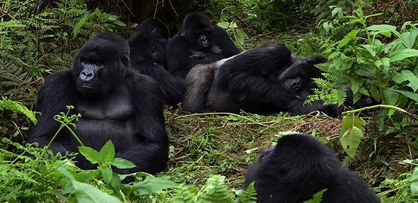 Apen in. de vrije natuur Ruandajpeg