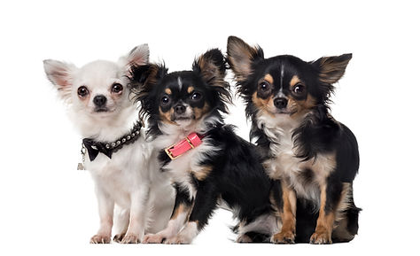 three-chihuahuas-in-front-of-white-backg