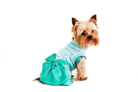yorkshire-terrier-in-nice-dress-P2TV5SW-