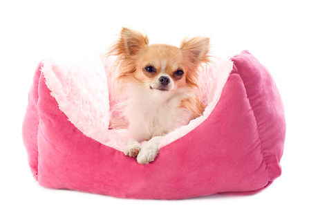 chihuahua-and-dog-bed-PAJM6DW-1024x683.j