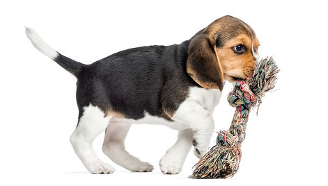 side-view-of-a-beagle-puppy-playing-with