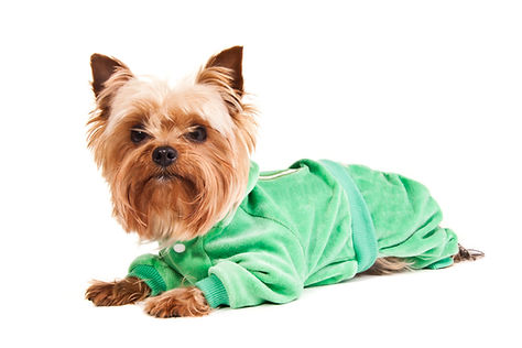 yorkshire-terrier-in-sweater-PS7L365-102