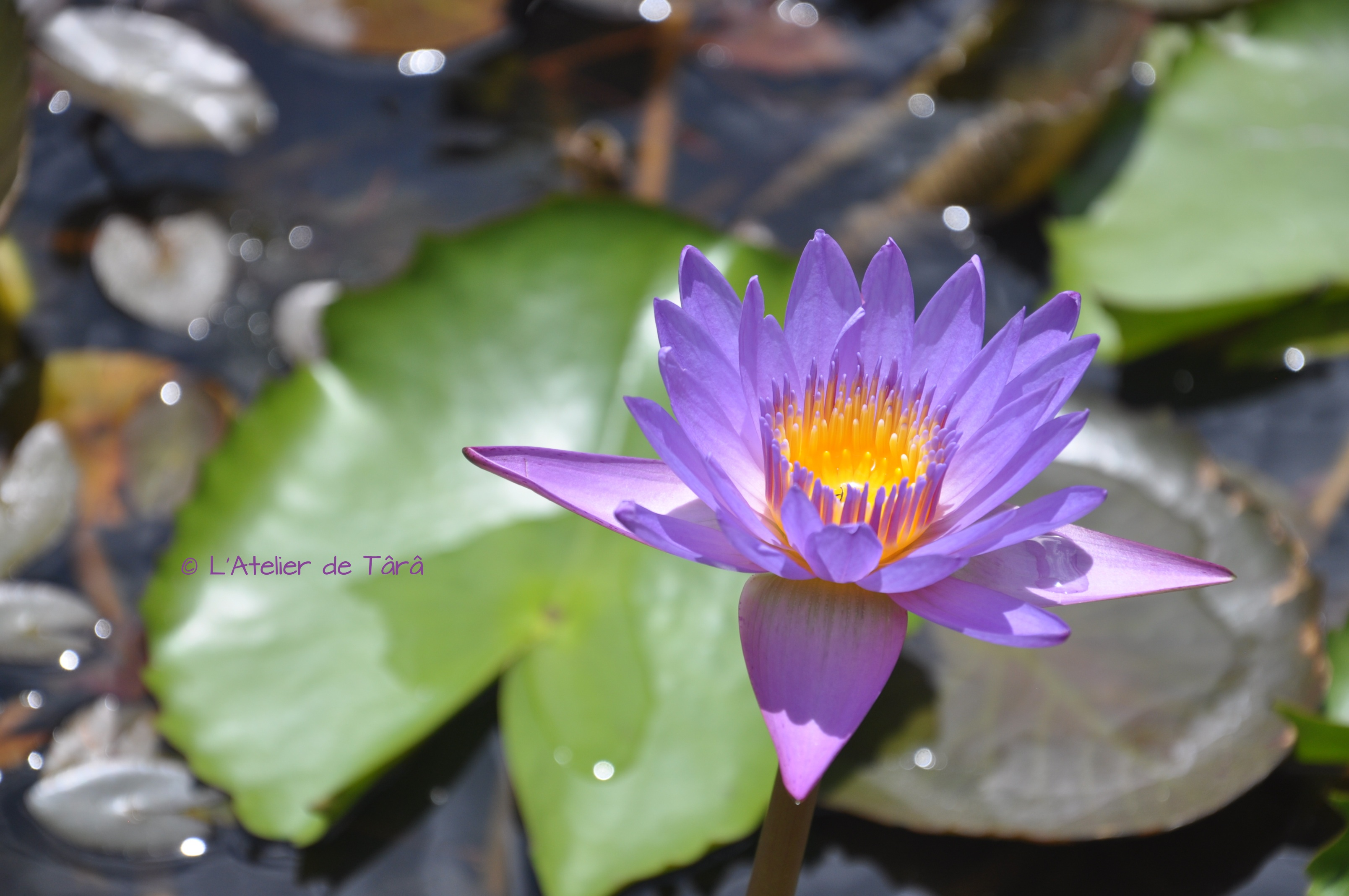 Lotus violet Vietnam