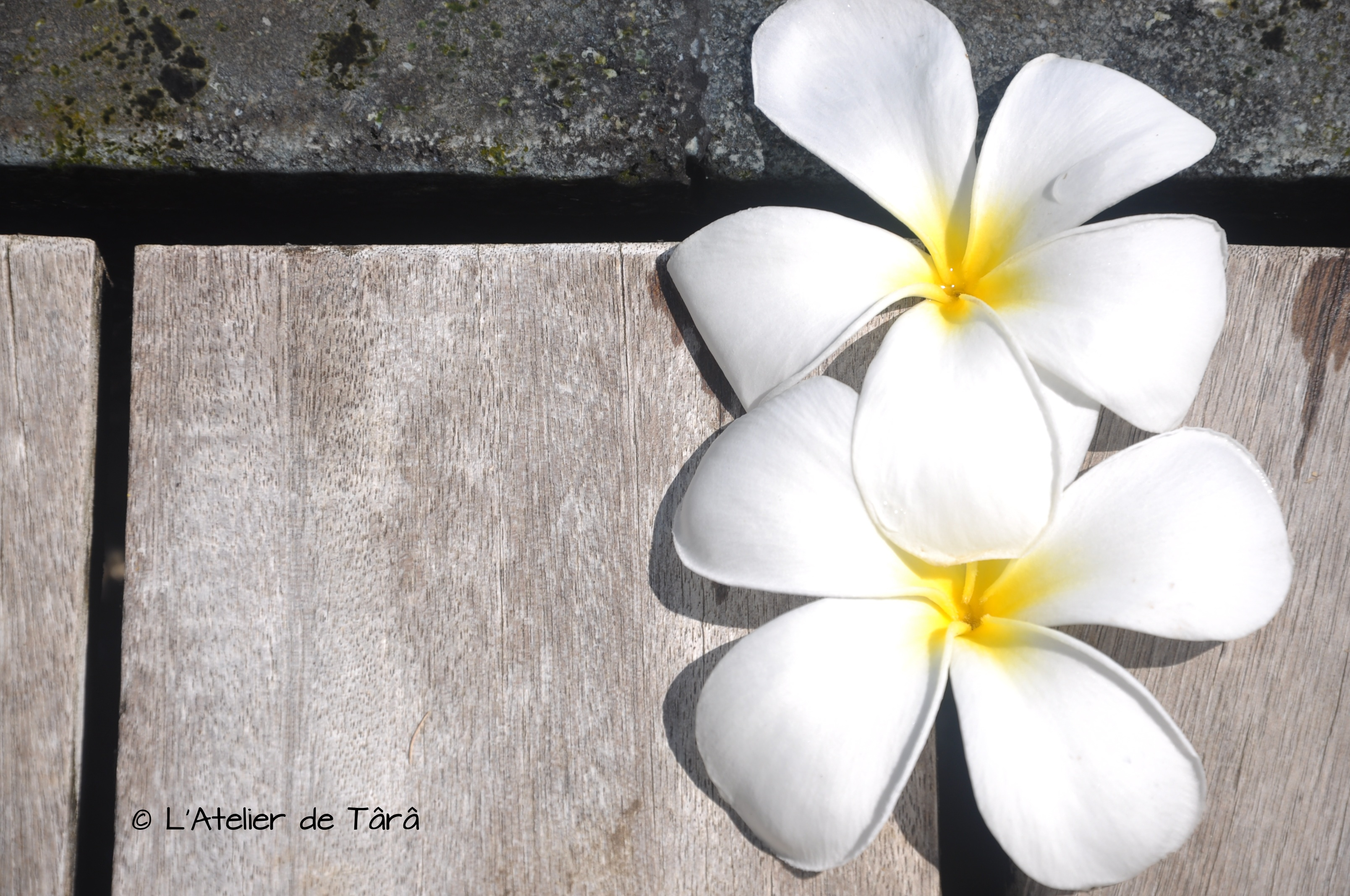 fleurs de frangipanier Bali