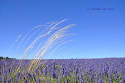 lavandes Provence
