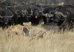 DSC_0490 lion and buffalo