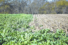 field of bullseye radish cover crop