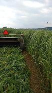 field of buckshot annual ryegrass
