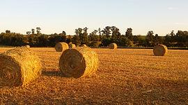 field of cover crop buckshot annual ryegrass