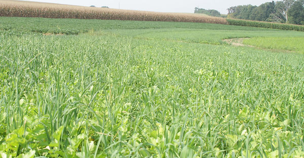 field of covermax cover crop mix
