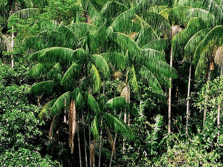 Açaí: How It's Produced and Harvested