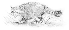raccoon1.png