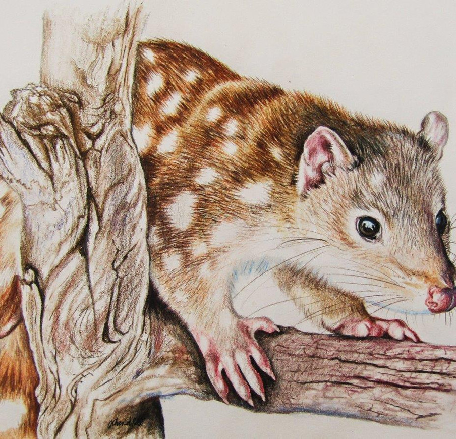 Spotted-tailed Quoll - coloured pencil o