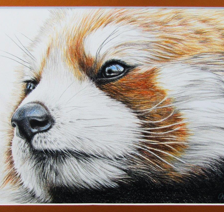 Red Panda - coloured pencil on paper.jpg