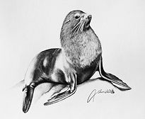 New Zealand Fur-seal - Graphite.jpg