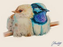 Tasmanian Superb Blue Fairy-Wrens - Colo