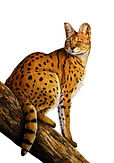 Afican Serval Cat - Mixed-Media .jpg