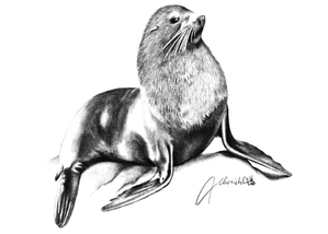 New Zealand Fur Seal - Graphite Drawing.