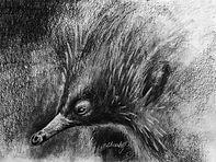 Tasmanian echidna - charcoal drawing.jpg