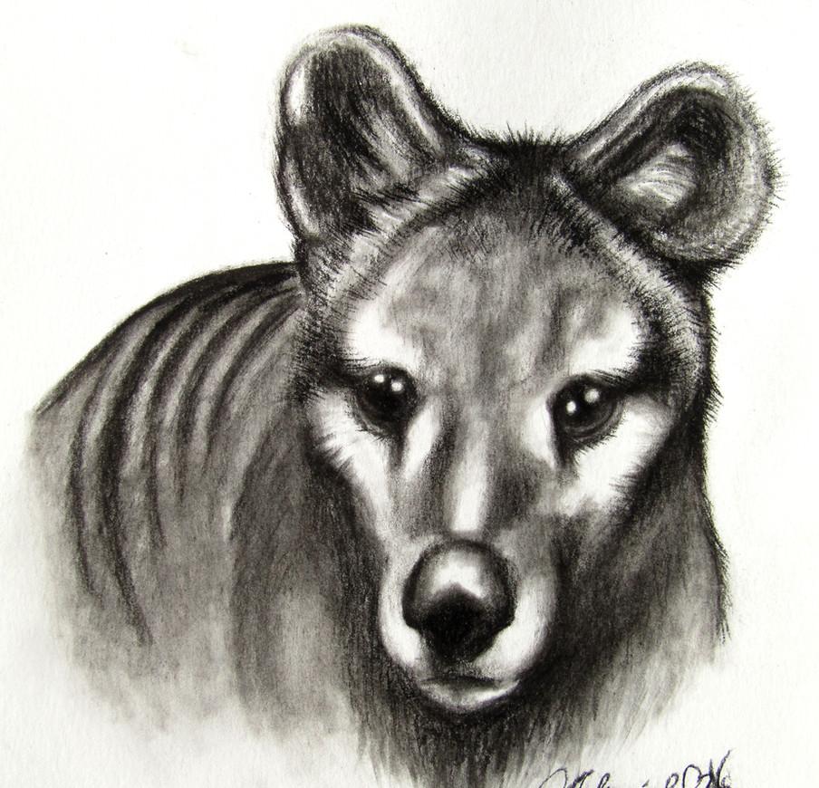 Thylacine Portrait - Charcoal Drawing.jp