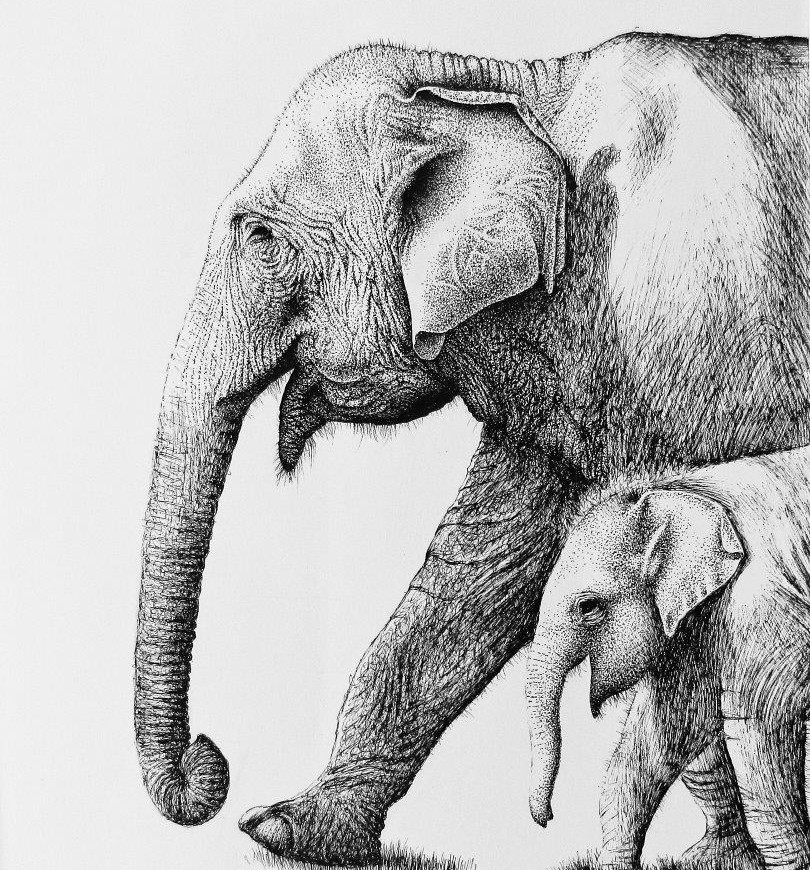 Sumatran Elephant - ink on paper.jpg