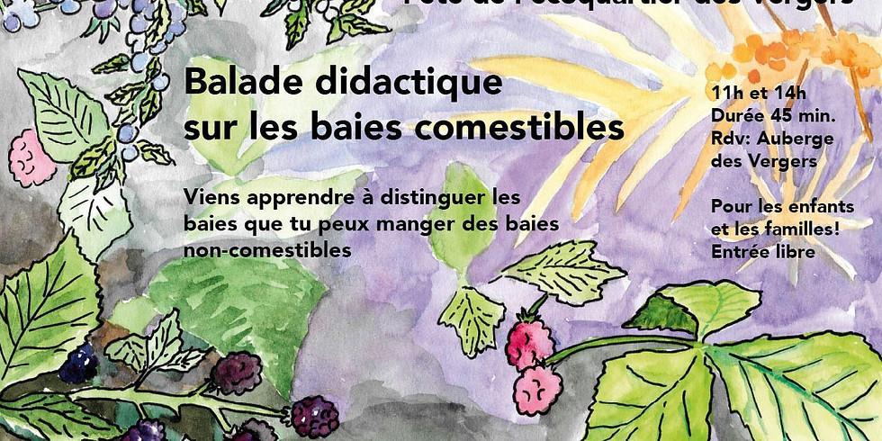 Balade didactique sur les baies comestibles