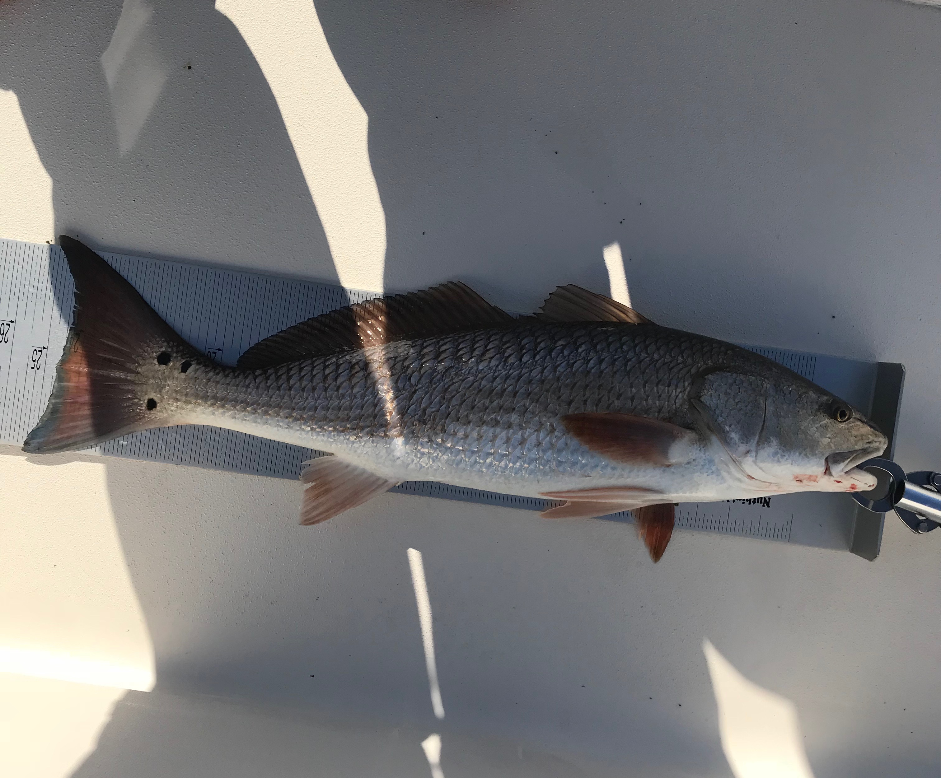 Sight fish 6.8 lb red 05042018 - Copy