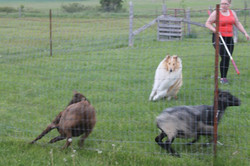 thor herding 3