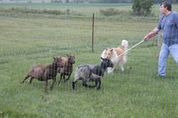 thor herding 4