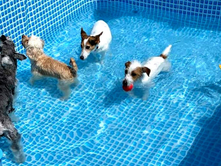 何匹プールの中にいるでしょうか?🤣 呉 東広島 ドッグランクラブ広島 ドッグプール